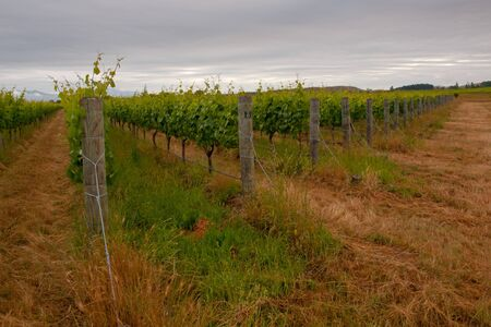 Organic vineyard with clouded sky Stock Photo - 10834496