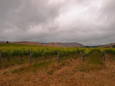 Organic vineyard under dramatic sky photo