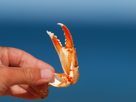 crab meat: The claw of a crab in the hand of a young child with blue background