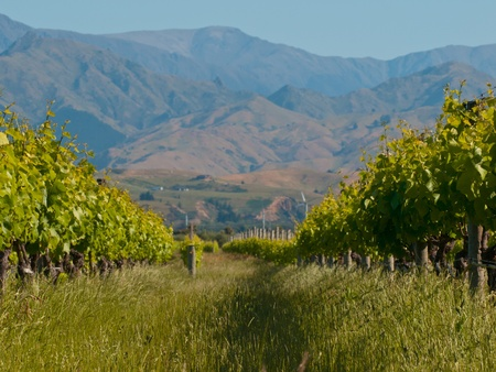 A view of a vineyard with misty hills backdrop Stock Photo - 10834491