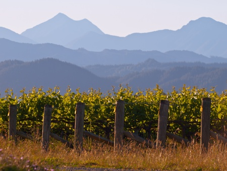 chardonnay: A view of a vineyard with misty mountains backdrop