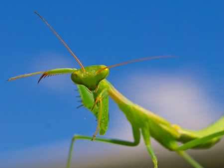 cannibal: Praying mantis is going to attack the camera Stock Photo