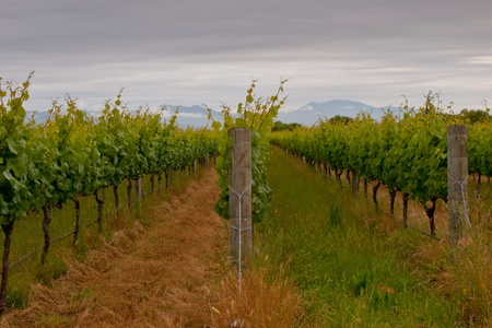 Rows in a Marlborough region vineyard Stock Photo - 10834493
