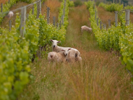 sheep are grazing in organic vineyard in marlborough wine region New Zealand Stock Photo