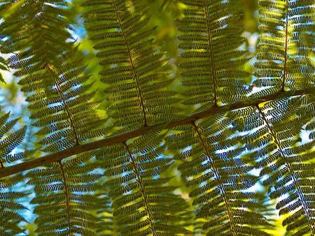 unfurl: Underside of a tree fern leaf against a blue sky