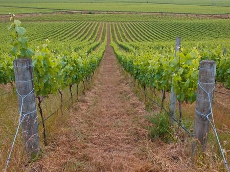 marlborough: View of an organic vineyard in marlborough region New Zeland Stock Photo