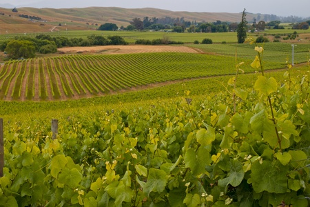 champagne region: View of vineyard countryside in Marlborough New Zeland