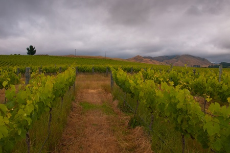 vineyard in marlborough new zealand with clouded sky photo