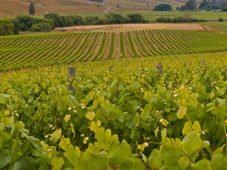 New Zealand vineyard country overview photo