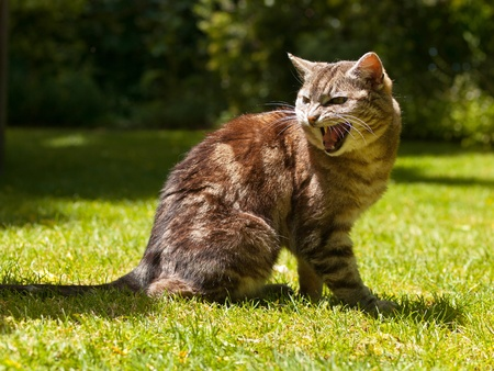 very agressive yelling cat in a garden setting Stock Photo - 10834450