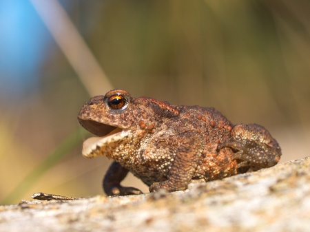 Common toad Bufo Bufo croaking Stock Photo - 11334292