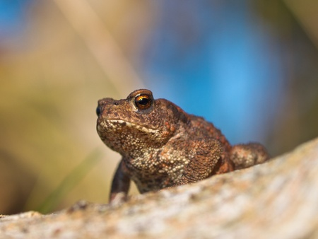 Common toad Bufo Bufo on log with beatiful background photo