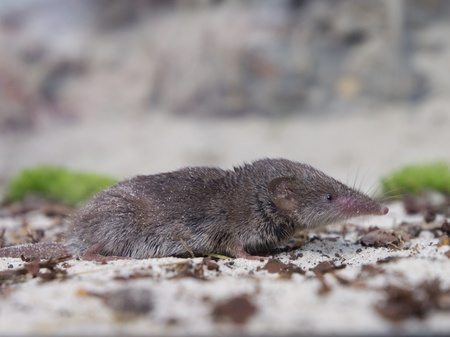 Greater white-toothed shrew (Crocidura russula) sideview Stock Photo