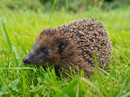 Hedgehog in a garden grass field
