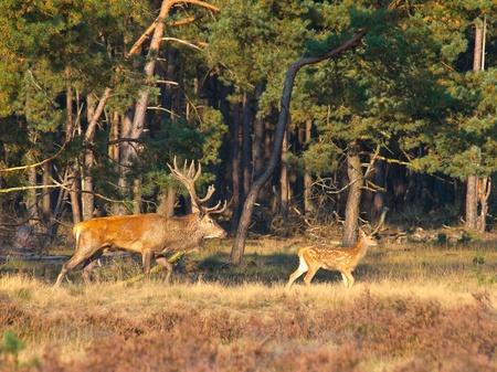 conservation grazing: Male red deer (Cervus elaphus) with juvenile