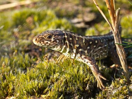 lacerta: Sand lizard portrait Stock Photo
