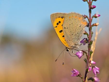 lycaena: Small Copper butterfly, Lycaena phlaeas on heath Stock Photo