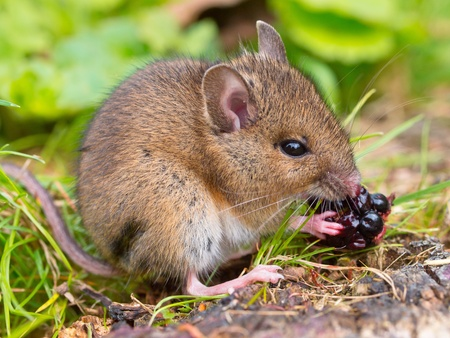 Wild mouse eating raspberry on log sideview Stok Fotoğraf - 11334343