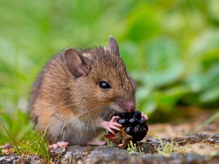 Wild mouse eating raspberry