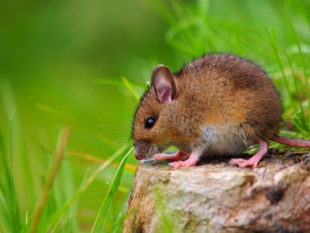 Wild mouse sitting on log