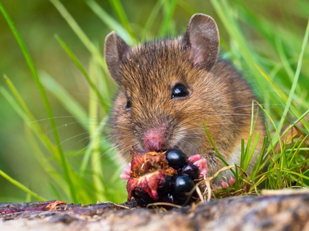 Wood mouse eating raspberry close up photo