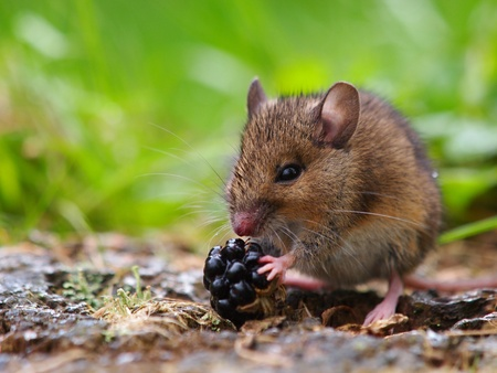 Wood mouse eating raspberry Stock Photo