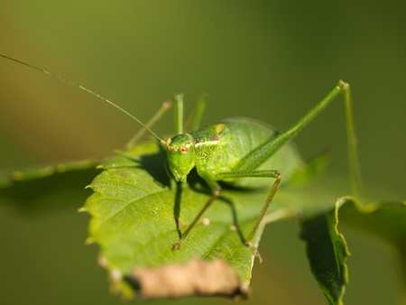Female of a speckled bush-cricket (Leptophyes punctatissima) on a leaf with shallow depth photo