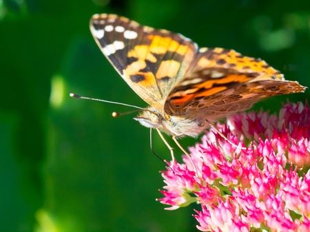 Painted lady (Vanessa cardui) sitting on sedum in the sun Stock Photo - 11334366