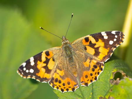 Painted lady (Vanessa cardui) sitting on leaf photo