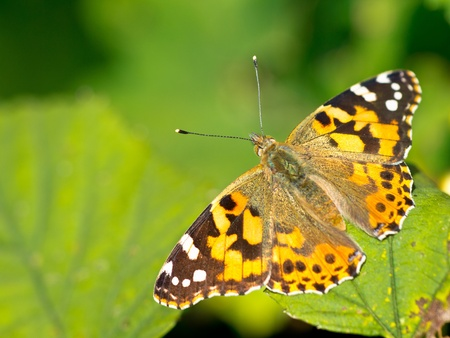 vanessa: Painted lady (Vanessa cardui) sitting on leaf in the sun