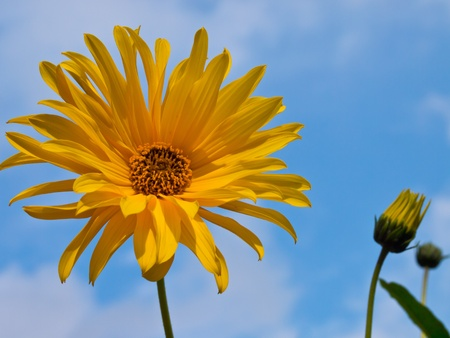 Autumn blooming sunflower against blue sky photo