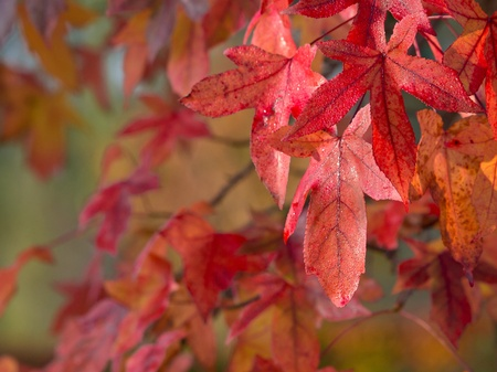 acer: Autumnal colored red maple leaves