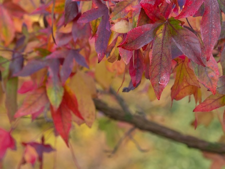 acer: Brightly colored autumnal maple leaves in shallow depth