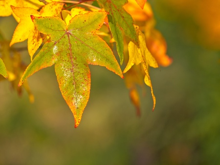 Brightly colored maple leaves in shallow depth photo