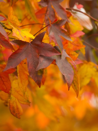 colorful maple leafs during autumn photo