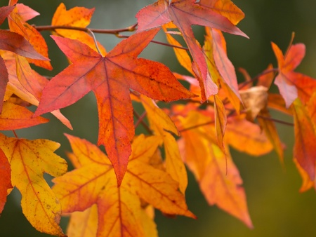 acer: colorful maple leafs