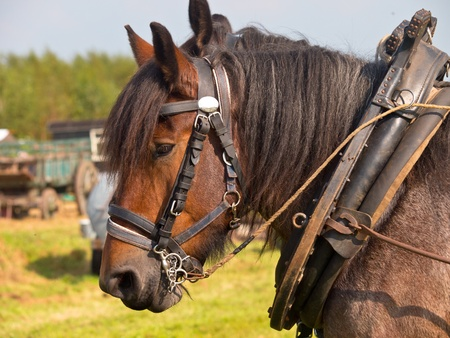 horse harness: Couple of vintage pulling horses
