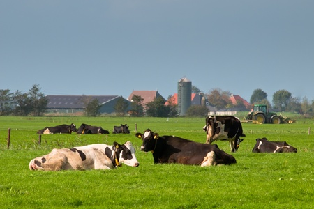 Cows are resting with farm and tractor in backdrop photo
