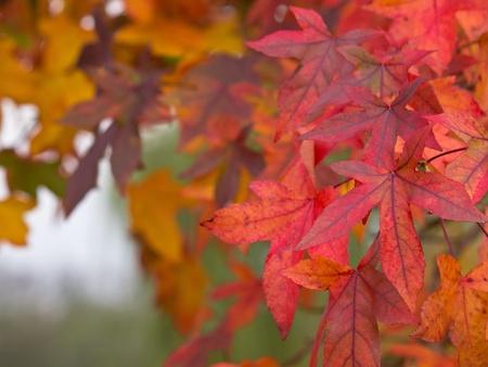 acer: Maple leafs autumn colors