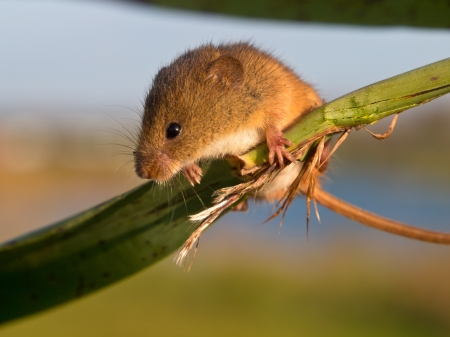 Harvest mouse (Micromys minutus) is looking in the camera from reed stem photo