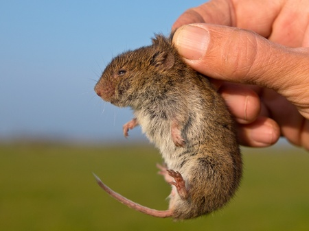 vole: Vield vole (Microtus agrestis) kept in hand by researcher Stock Photo