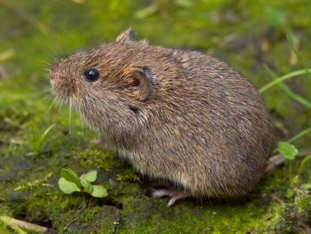 Vield vole (Microtus agrestis)  sitting