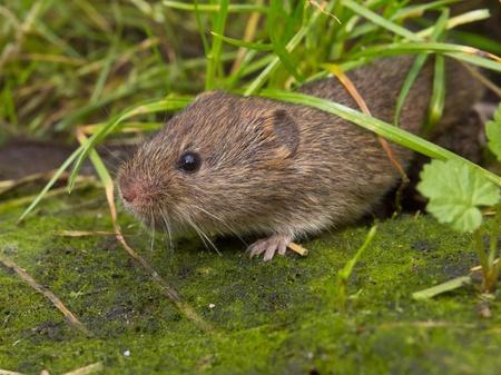 vole: Vield vole (Microtus agrestis)  under grass