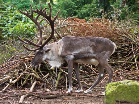 Male reindeer with large antlers in natural habitat photo