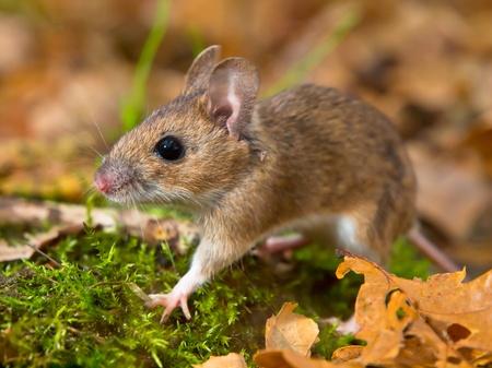 necked: geel hals muis lopen op bosgrond Stockfoto
