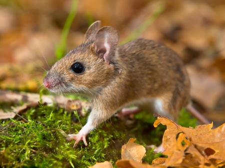yellow necked mouse walking on forest floor