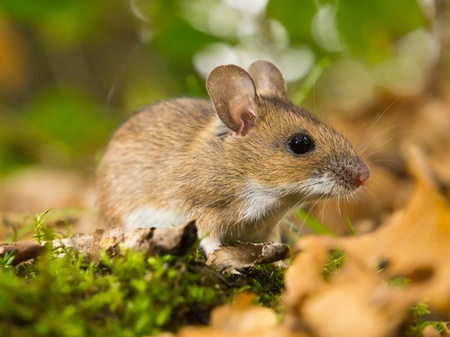necked: yellow necked mouse in natural habitat Stock Photo