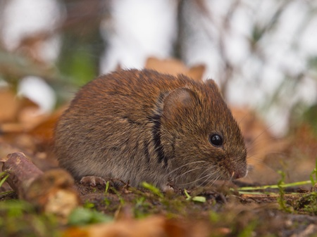 vole: Bank vole (Clethrionomys glareolus) seen from the side