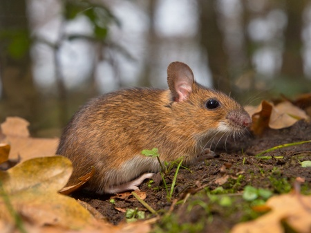 necked: close-up van gele hals muis op de bosbodem