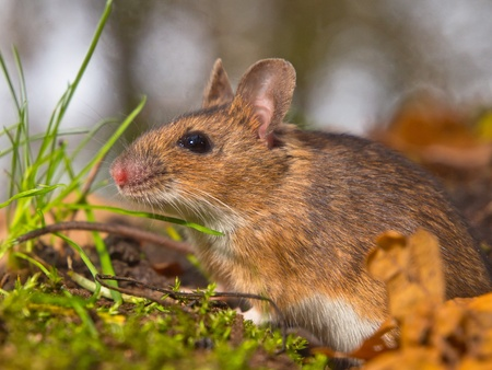 necked: close up of yellow necked mouse Stock Photo